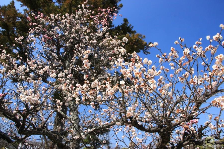 誉田八幡宮の梅