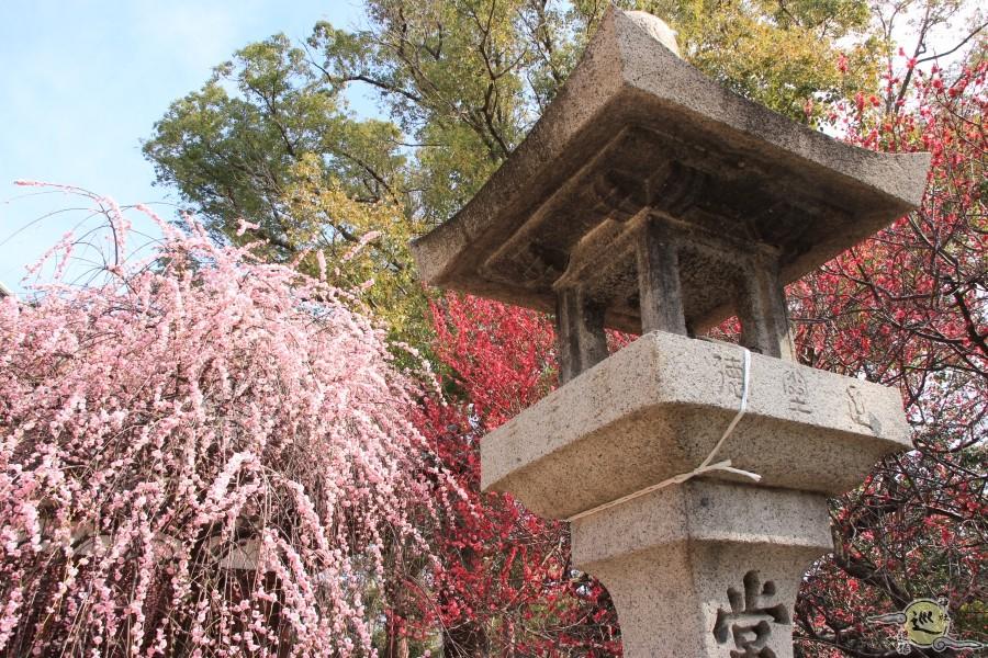 屯倉神社の梅