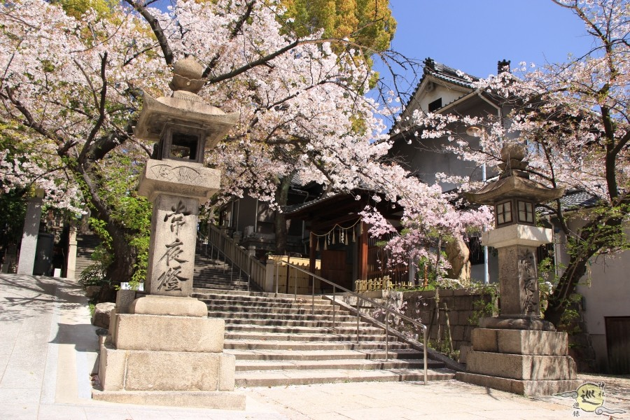 高津宮 桜