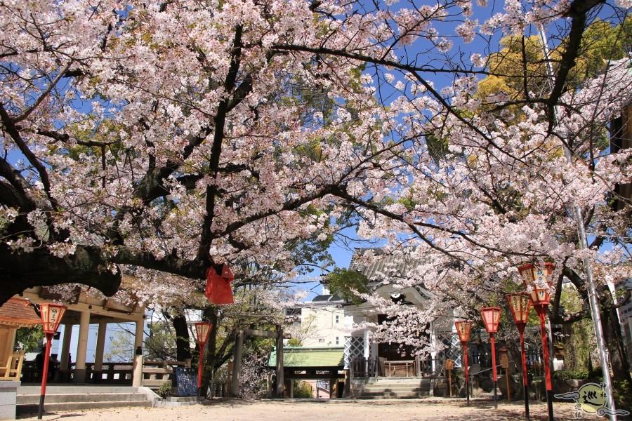 高津宮の桜