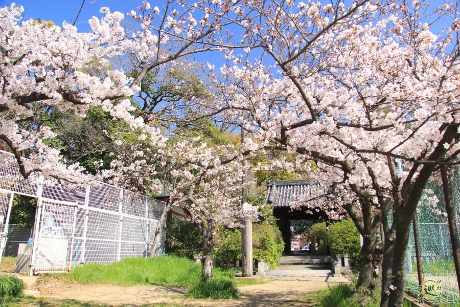 大依羅神社の桜