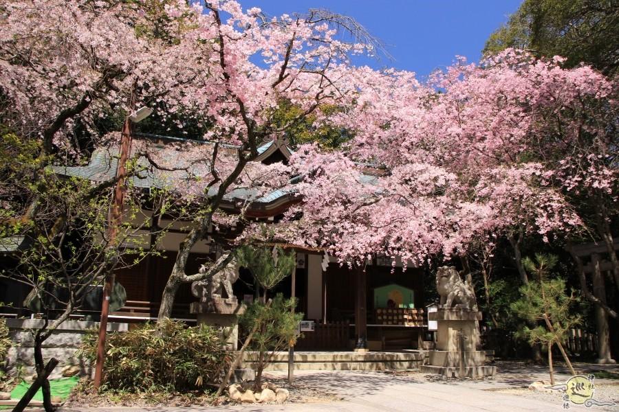 保久良神社 桜