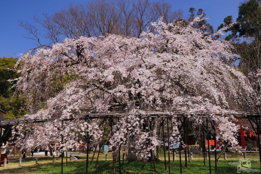 上賀茂神社 御所桜